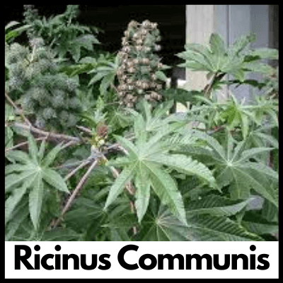 Ricinus Communis, Best Arthritis Tablets, Supplement for Joint Pain